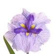 Purple, white and yellow flower of a Japanese iris — Stock Photo