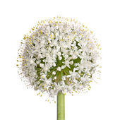 Flower head of an onion (Allium cepa) on white — Stock Photo