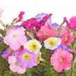 Colorful flowers of petunia seedlings — Stock Photo
