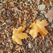 Fallen leaves of oak and sugar maple - Stockfoto
