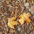 Fallen leaves of oak and sugar maple — Stock Photo
