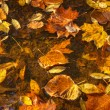Coloful fallen leaves on water - Photo
