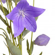 Flower, bud and leaves of a balloon flower on white - Стоковая фотография