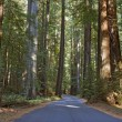 Road running through a redwood grove in California - Foto Stock