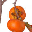 Two ripe persimmons isolated against white - 图库照片