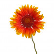 Yellow and red flower of a Gaillardia on white - Foto Stock