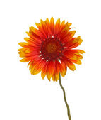 Yellow and red flower of a Gaillardia on white — Stock Photo