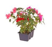 粉红色和红色凤仙花幼苗准备移栽一副 — 图库照片