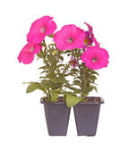 Pack of two pink-flowered petunia seedlings ready for transplant — Stock Photo