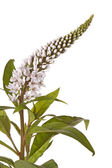 Flower stem and leaves of gooseneck loosestrife — Stock Photo