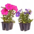 Two packs of pink- and blue-flowered petunia seedlings ready for - Zdjęcie stockowe