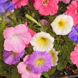 Colorful flowers of petunia fill the frame — Stok fotoğraf