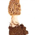 Fresh morel mushroom and soil against white — Stock Photo #25206863