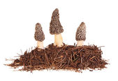 Three gray morel mushrooms and substrate isolated on white — Stock Photo