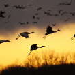 Sandhill cranes at sunset — Stock Photo #2658987