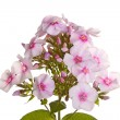 Cluster Of White And Pink Phlox Flowers On White — Stockfoto