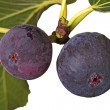 Two ripe figs on a tree — 图库照片