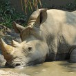 White rhinoceros in a wallow at the Indianapolis Zoo — Stok fotoğraf