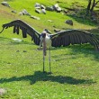 Marabou stork spreads its wings at the Indianapolis Zoo — Stock Photo