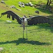 Marabou stork spreads its wings at the Indianapolis Zoo — 图库照片