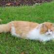 Orange and white domestic longhair cat in the grass — Foto Stock