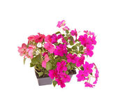 Pack of pink and purple impatiens seedlings ready for transplant — Stock Photo