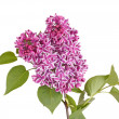 Foto Stock: Spray of purple and white lilac flowers isolated against white