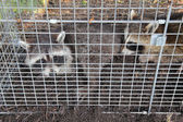 Two raccoons (Procyon lotor) caught in a live trap — Stock Photo