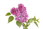 Spray of purple and white lilac flowers isolated against white — Stock Photo
