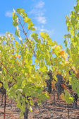 Grapes on the vine in the Napa Valley of California — Foto de Stock