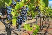 Grapes on the vine in the Napa Valley of California — Foto Stock