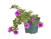 Potted seedling of a Calibrachoa isolated against white — Stock Photo
