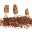 Yellow morel mushrooms and pine needle substrate isolated on whi — Foto de Stock