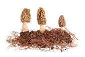 Yellow morel mushrooms and pine needle substrate isolated on whi — Stock Photo