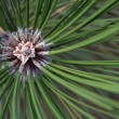 Pine needles with centre of growth horizontal — Stock Photo
