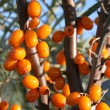 Stock Photo: Ripened berries of garden sea-buckthorn