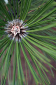 Pine needles with centre of growth vertical — Stock Photo