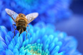 Bee on blue aster — Stock Photo