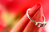 Red tulip with ring — Stok fotoğraf