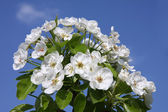 Pear blossoms — Stock Photo