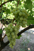 Two bunch of green grapes on vine vertical — Stock Photo