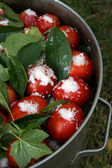 Tomatoes with currant leaves and salt in big pan with arm vertic — Stock Photo