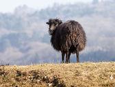 Black Domestic Sheep — Stock Photo