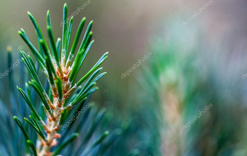 Macro shot of a young pine twig against a blurry natural background with a lot of copyspace.  Stock Photo #16641477
