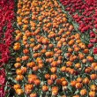 Field of Tulips — Stock Photo #18923065