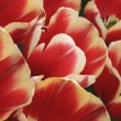 Tulips Field Detail — Stock Photo #18923069