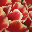 Tulips Field Detail — Stock Photo