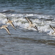 Shorebirds Flying - Stock Photo