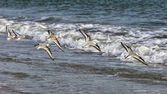 Shorebirds Flying — Stock Photo