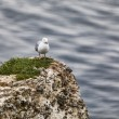 The European Herring Gull on the Etretat Cliffs — Stock Photo #21866895